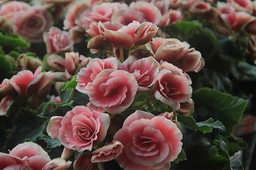 Luz Rosas Rosa