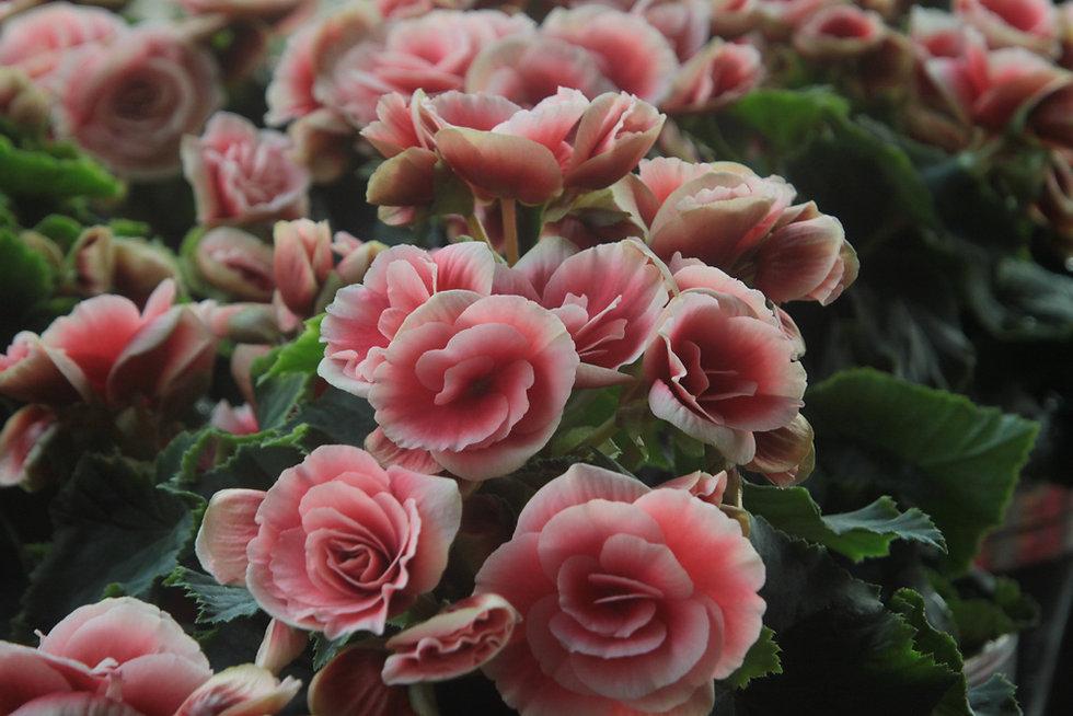 ライトピンクのバラ