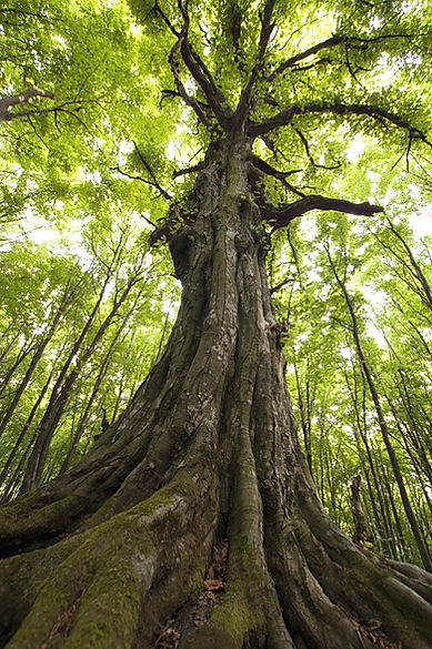 vertical photo of an old tree in a green