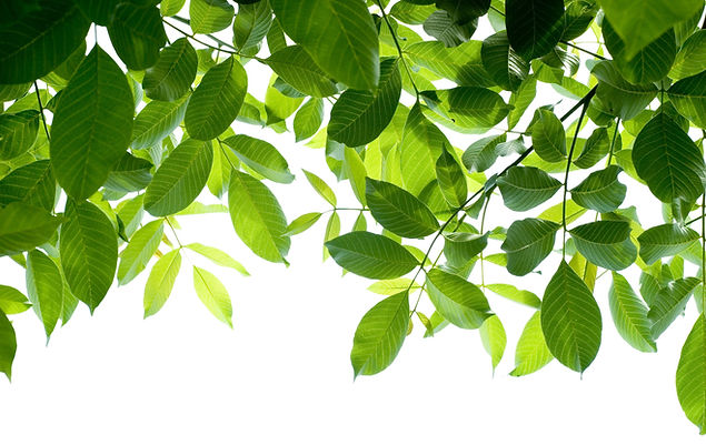 green%20leafs%20isolated%20on%20white%20