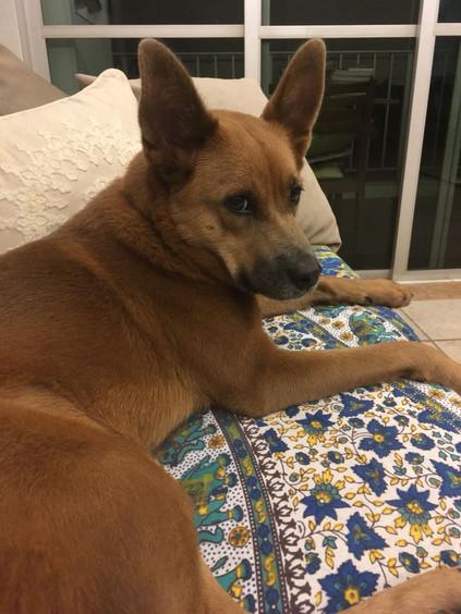 Shiba no sofá