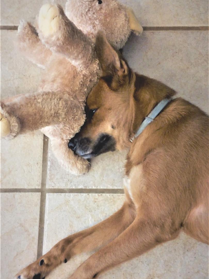 Shiba e cão de pelúcia