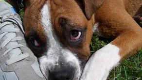 Cães & Comportamento Destrutivo