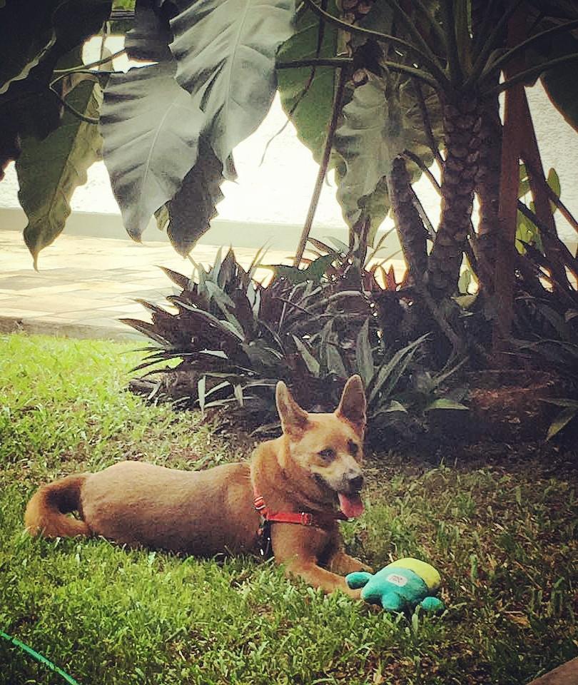 Shiba no jardim