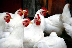 Austra white chickens