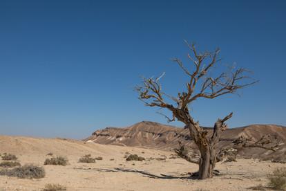 עץ המסתורין - דרום ישראל