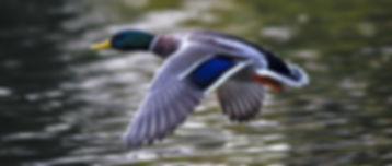 duck-2824378_1920_926f9562a540b4fe5f9b73