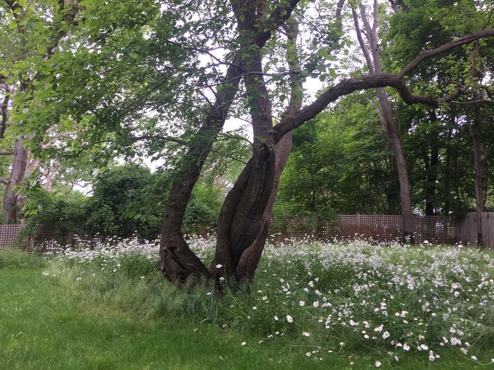 tree_whiteflowers.JPG.jpg