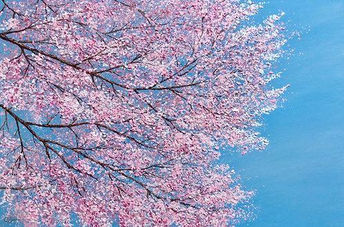 Cherry Blossom Time 61x91cm
