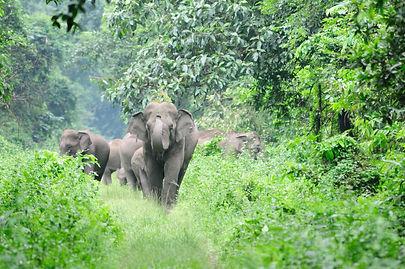 Les éléphants du Kérala