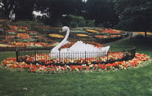 Bygone Swan Story