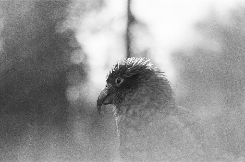 Kea parrot black and white film photograph