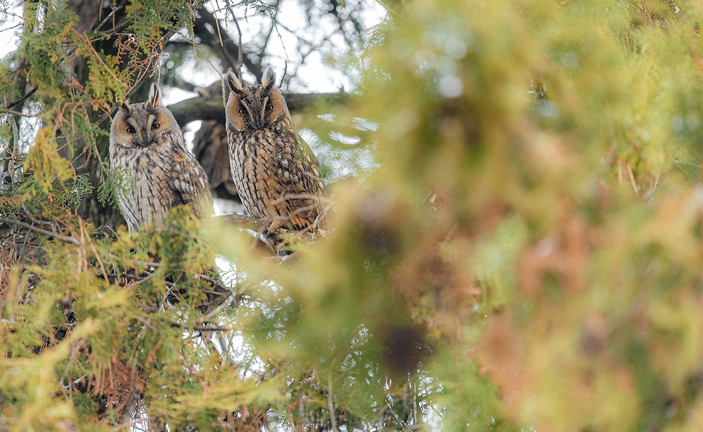 Two long-eared owls looking at camera from juniper tree, Turkeve, Hungary