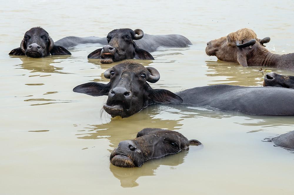 water buffalo swimming in ganges river in varanasi india