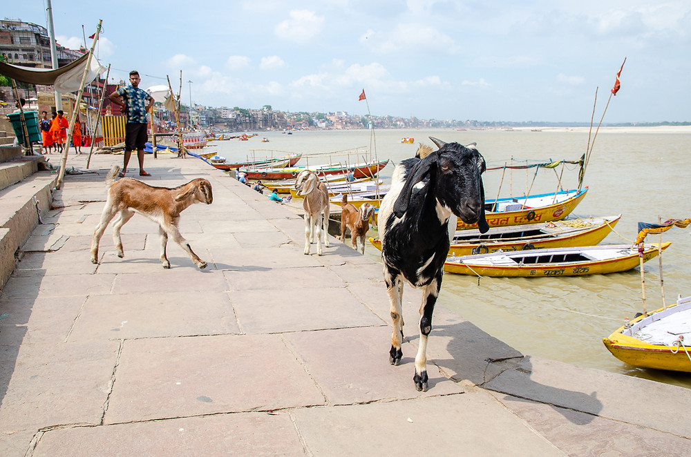 goats on shore of ganges in varanasi india