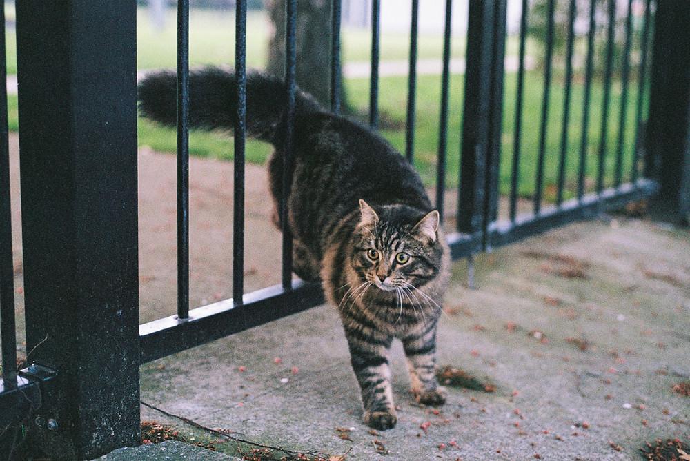 cat walking through gate film photograph