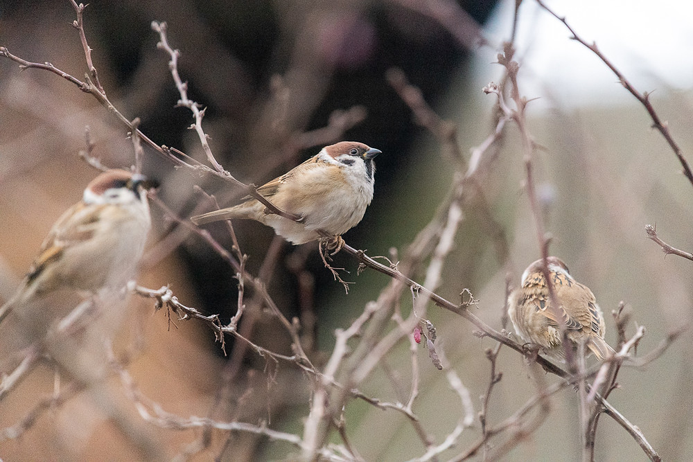 Three finches, Turkeve, Hungary