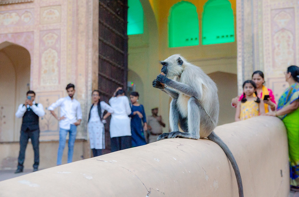 hanuman langur monkey eating in front of jaipur temple and people watching it