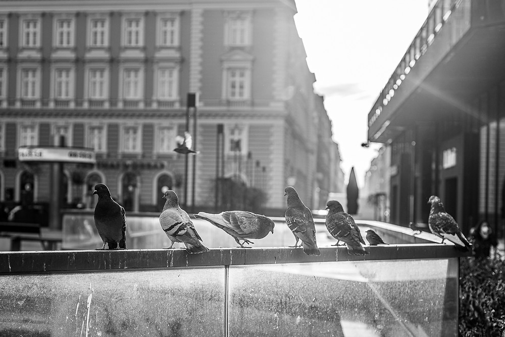 Pigeons in Budapest in black and white