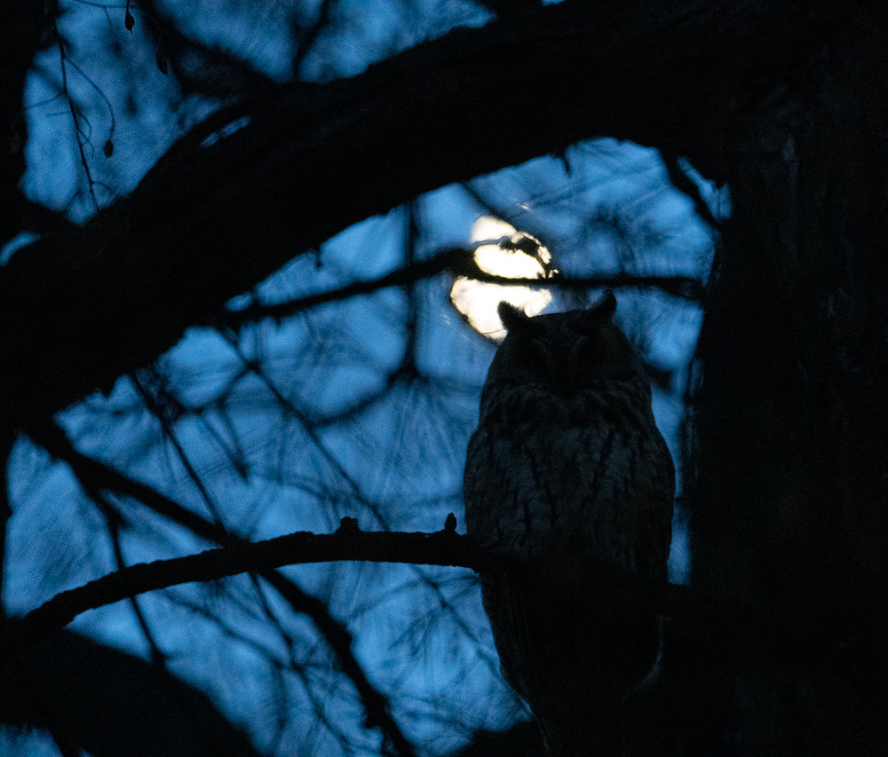 Long-eared owl at night with moon behind, Turkeve, Hungary