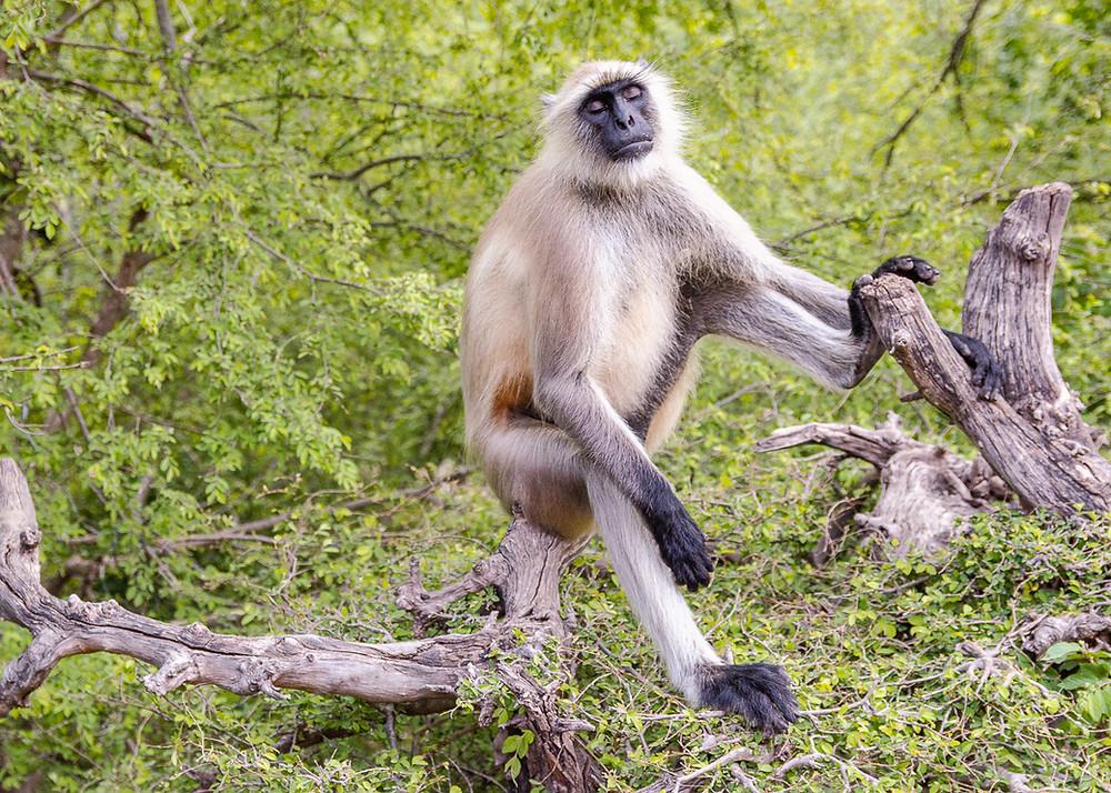 hanuman langur monkey sitting in tree