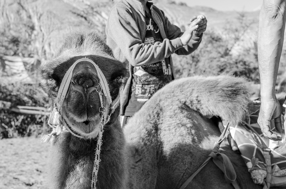 Black and white portrait of a captive Bactrian camel made to give rides to tourists in Nubra Valley, Ladakh, India