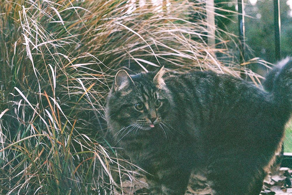cat licking tongue film photograph