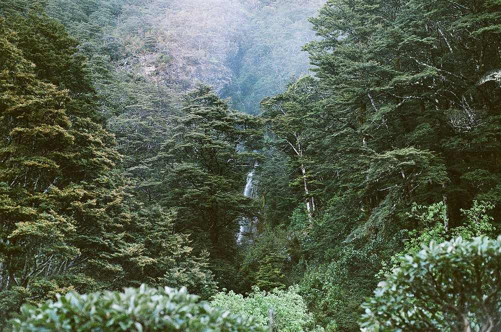 Forest in New Zealand film photography