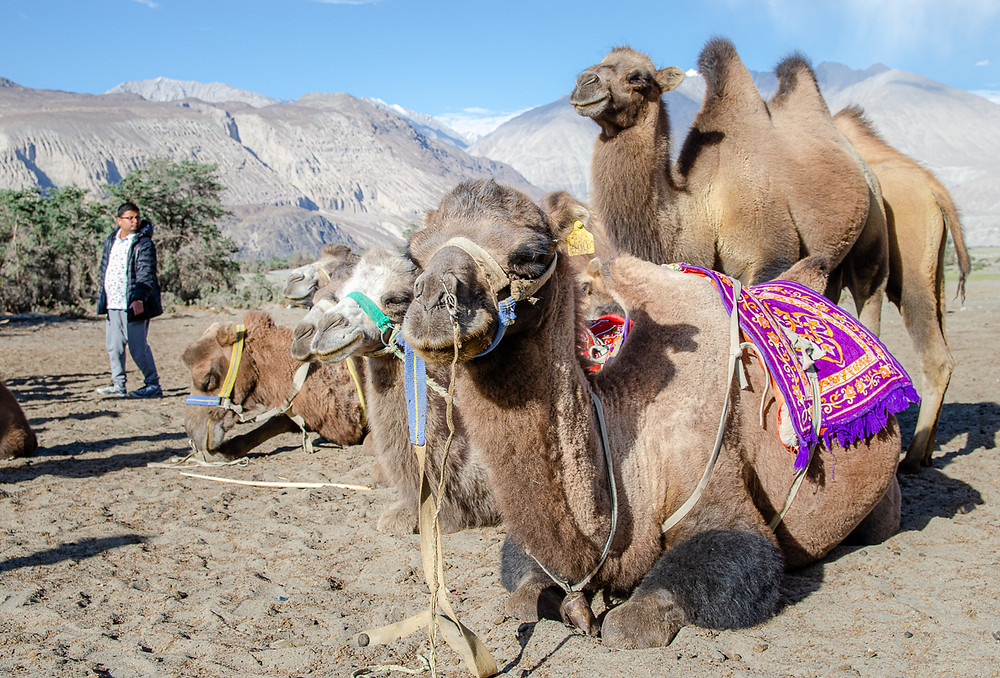 Bactrian camels at Nubra Valley, Ladakh, India