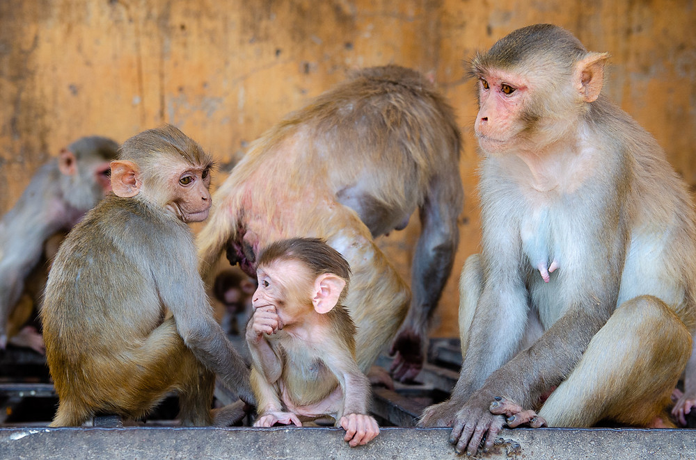 baby macaque and other monkeys in jaipur