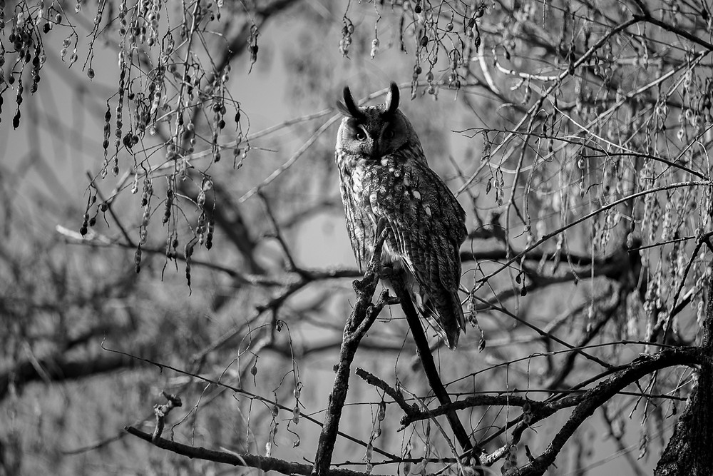Black and white photo of long-eared owl, Turkeve, Hungary