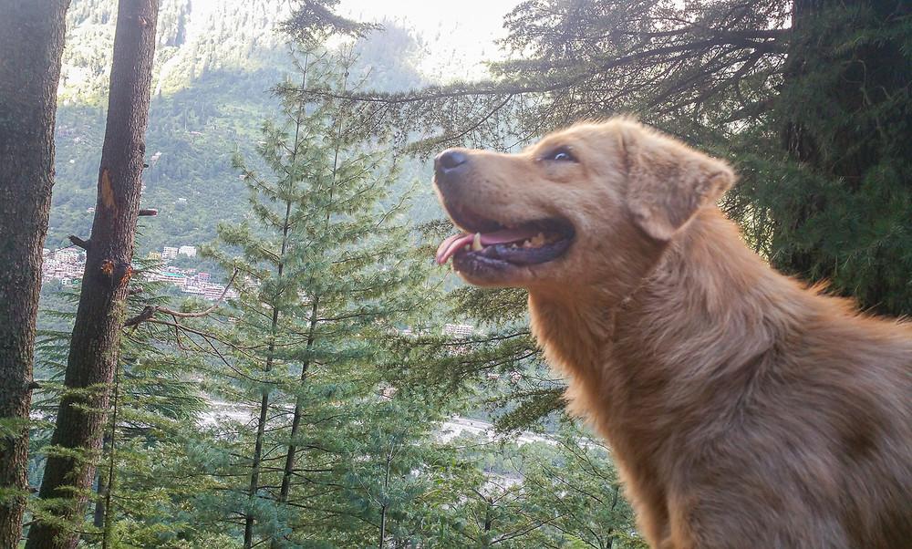 Golden labrador smiling in cedar forest in Manali India