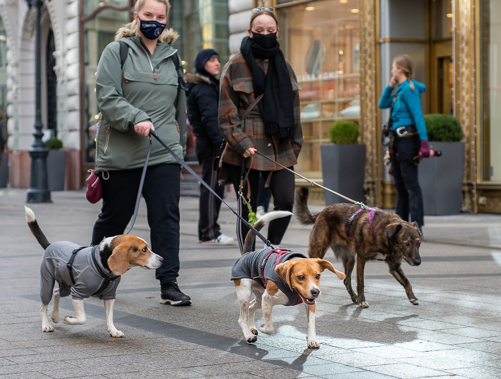 Beagles being walked in Budapest, owner in COVID-19 face mask