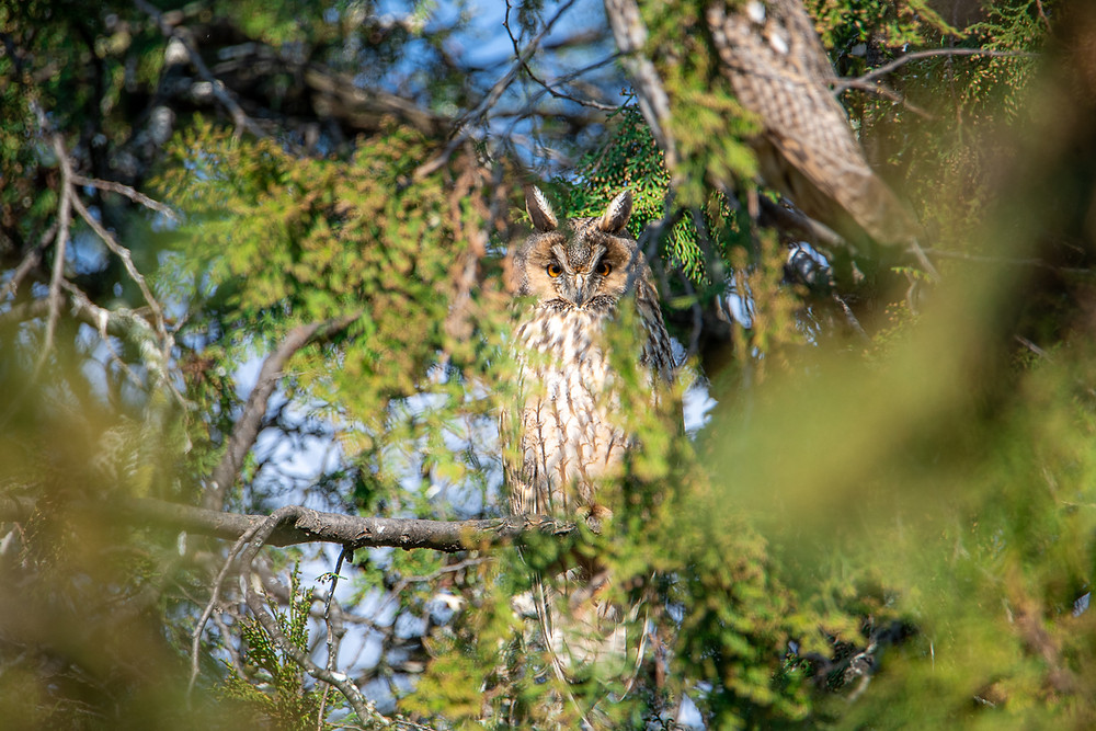Long-eared owl looks at camera from green juniper tree, Turkeve, Hungary