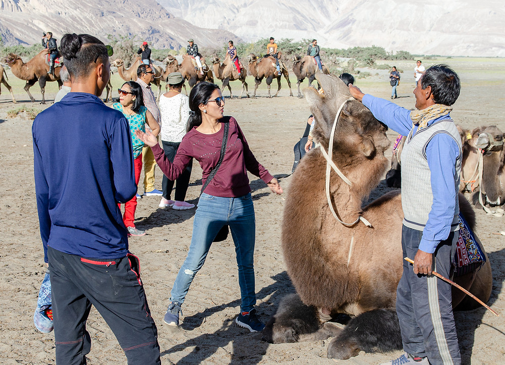 Animal cruelty in Nubra Valley, Ladakh, India, as a tourist pulls their hand away from an angry Bactrian camel