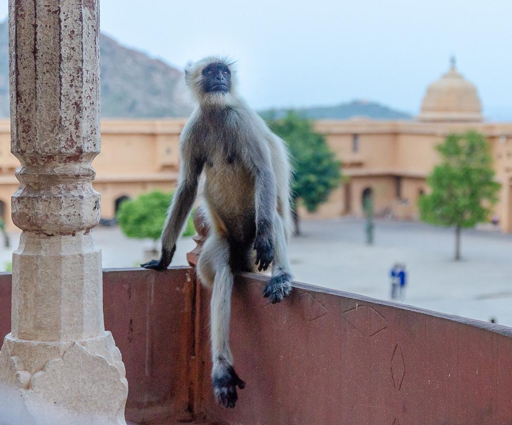 hanuman langur monkey sitting in jaipur fort