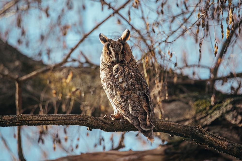 Long-eared owl in orange sunlight, Turkeve, Hungary