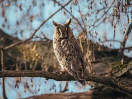 Owls of Túrkeve