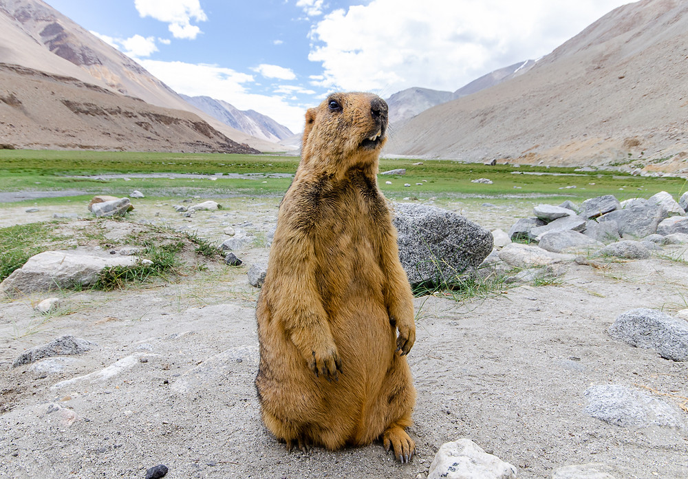 Himalayan marmot standing in front of mountain valley in Ladakh India
