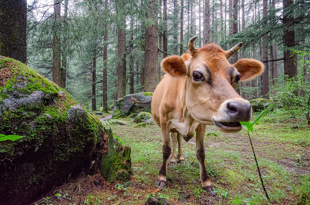 A cow eating in the cedar forests of Manali India