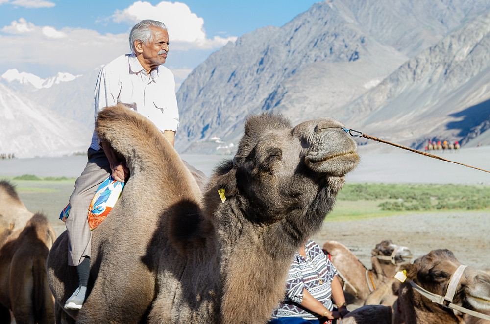 A bactrian camel has its nose ring pulled in an act of animal cruelty, in Nubra Valley, Ladakh, India