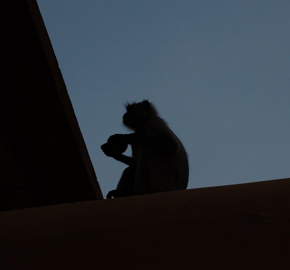silhouette of hanuman langur monkey