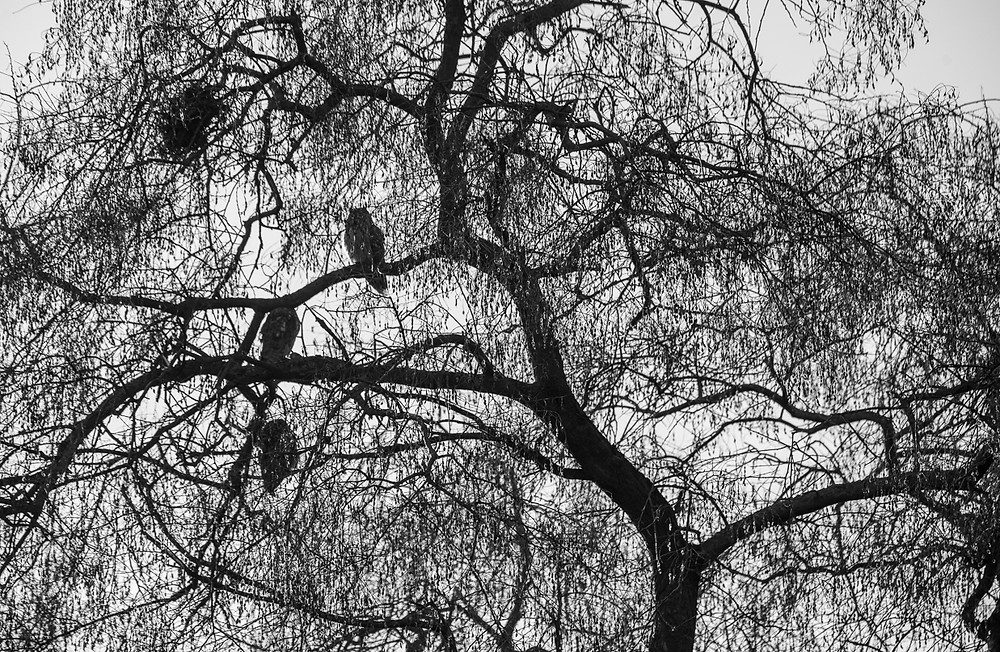Black and white photo of long-eared owls sat on tree branches, Turkeve, Hungary