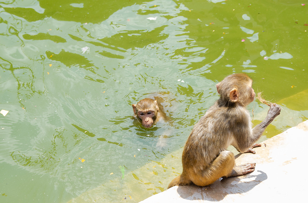 macaques playing in water at galta ji water temple in jaipur