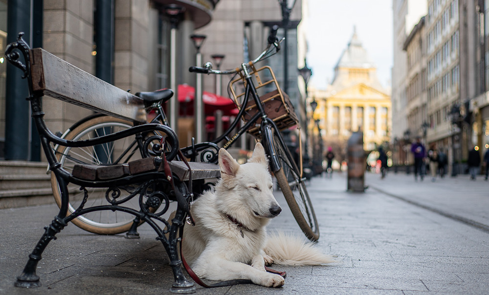 Fluffly white dog sat next to bench and bicycle in Budapest