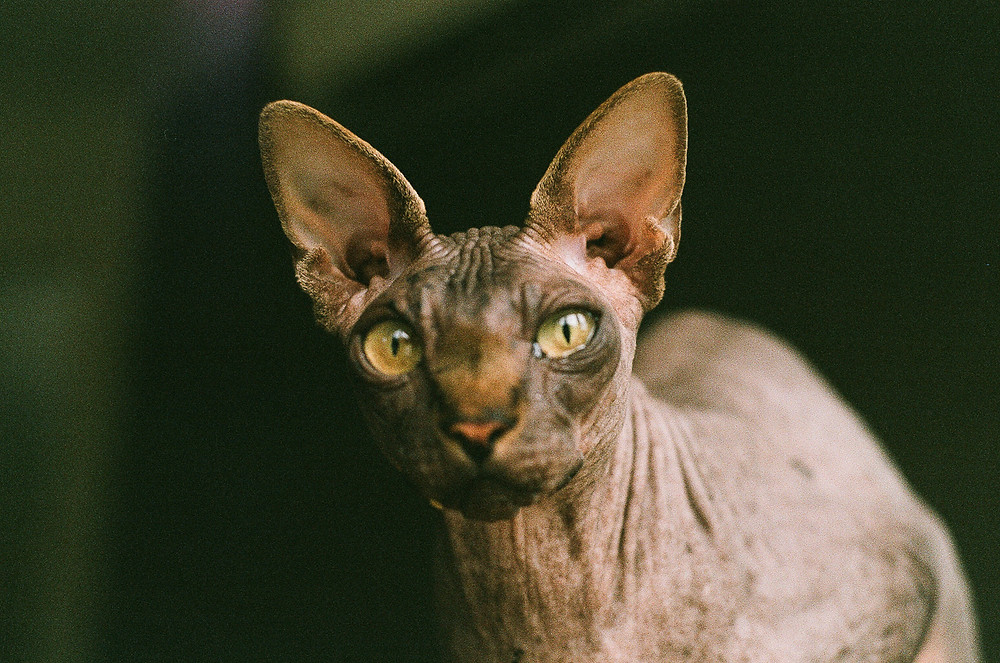 sphynx cat film photograph