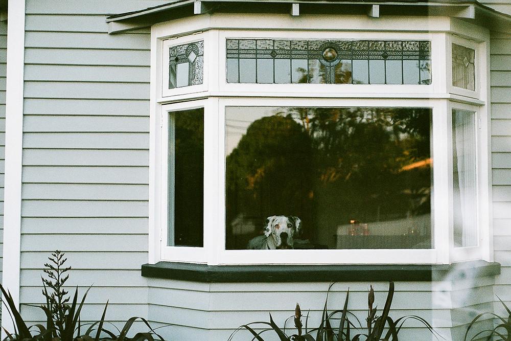 dog looking through window reflection film photograph