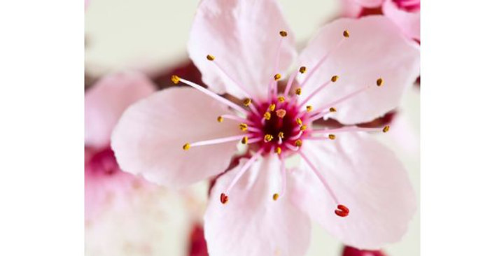 Japanese Cherry Blossom Wax Melt
