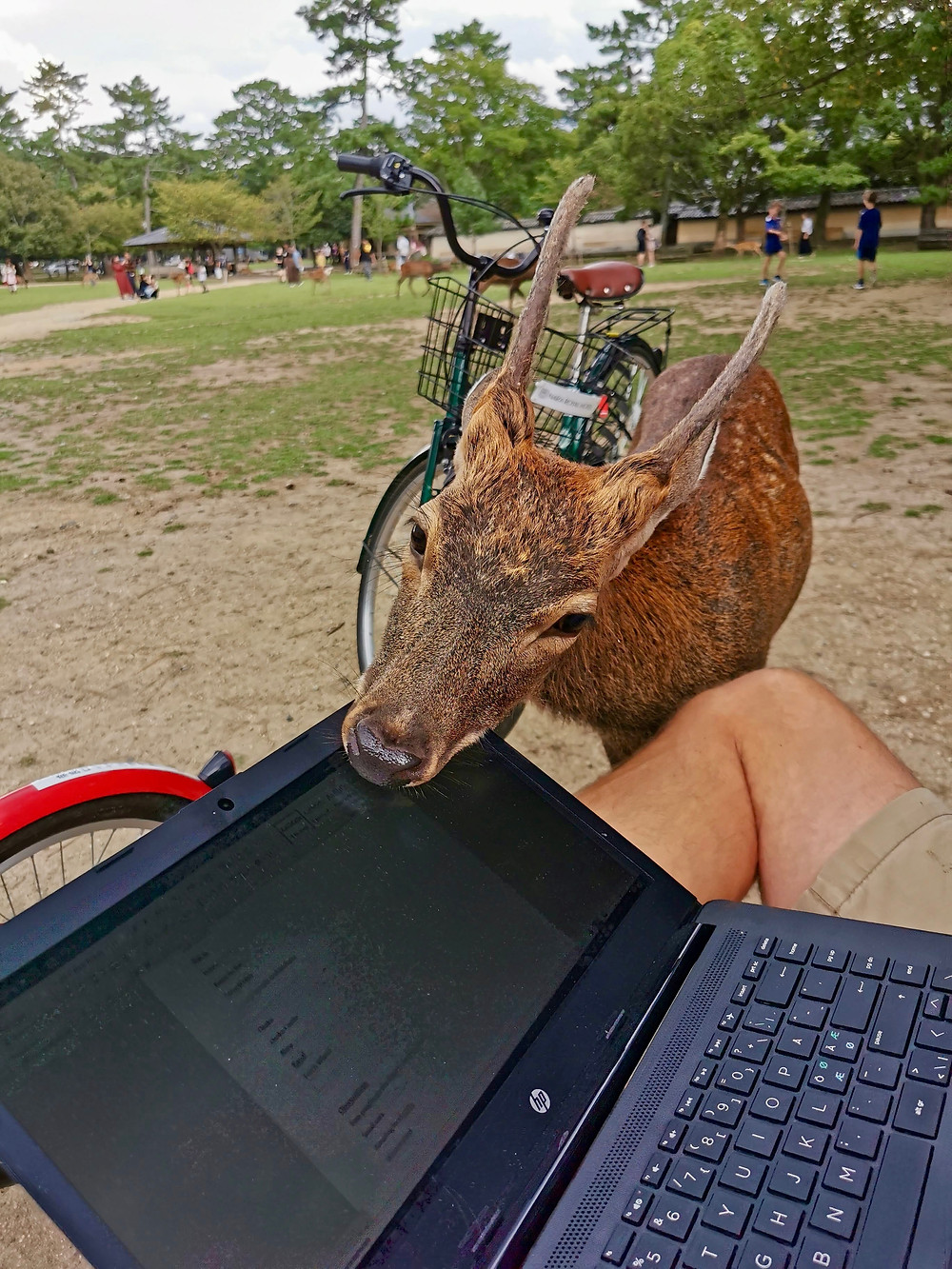 Deer in Nara is getting up close and personal