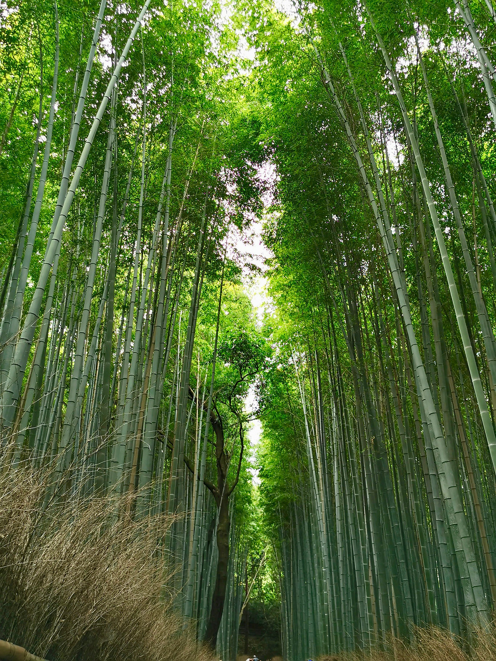 Bamboo Grove Kyoto Bamboo Forest
